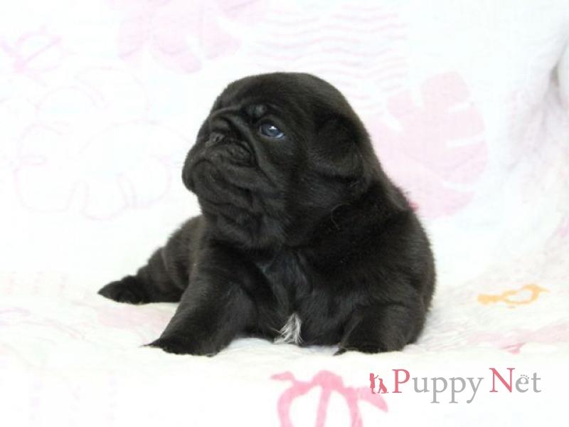 黒パグ・メス子犬