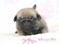大阪府(関西)パグブリーダー子犬|2016.4.1生・フォーン・オス|ID:160409153138