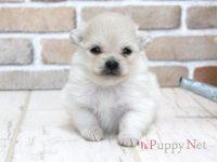 大阪府(関西)ポメラニアンブリーダー子犬|2016.4.2生・クリーム・メス|ID:160414070211