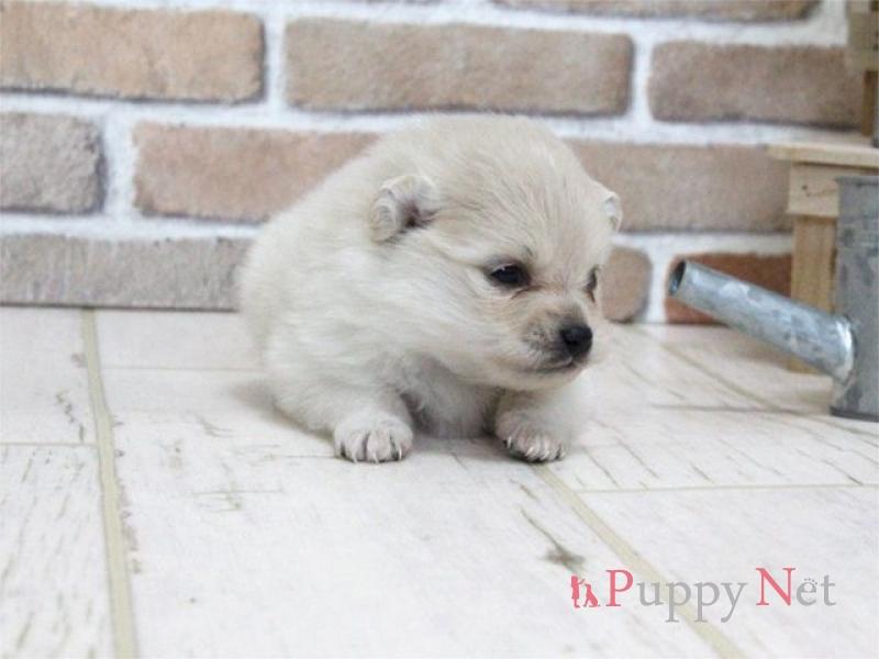 ポメラニアン子犬・クリーム・メス