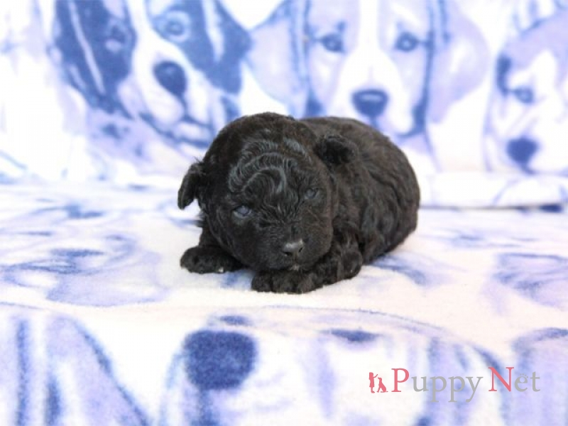 トイプードル・シルバー・メス子犬