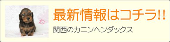 関西カニンヘンダックスブリーダー子犬販売