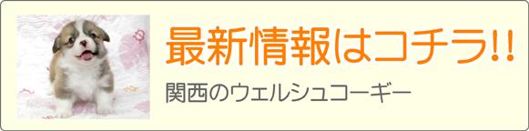 関西・近畿コーギーブリーダー最新子犬販売情報