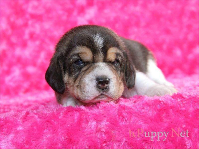 ビーグル・ブラックタン&ホワイト子犬