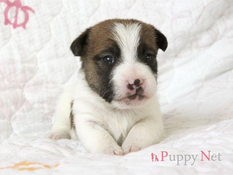 ジャックラッセルテリア・タン&ホワイト・ラフ~ブロークン子犬