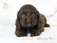 大阪府アメリカンコッカー子犬 2018.1.1生・チョコレート・オス ID:180211081405