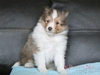 奈良県(関西)ブリーダー・シェルティ子犬|2018.1.6生セーブル&ホワイト・オス|ID:180218082900