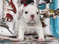 岡山県・和気郡ブルドッグ子犬|2018.1.30生・ホワイト&レッド・オス|ID:180226193322