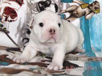 岡山県ブルドッグブリーダー子犬|2018.1.30生・ホワイト&レッド・オス|ID:180226194126