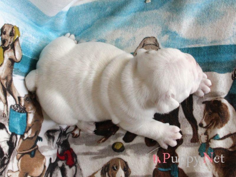 ブルドッグ子犬・ホワイト&レッド・オス