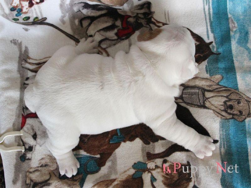 ブルドッグ子犬・ホワイト&レッド・メス