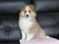 奈良県(関西)ブリーダー・シェルティ子犬|2018.8.24生セーブル&ホワイト・オス|ID:181113063317