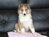 奈良県(関西)ブリーダー・シェルティ子犬|2018.8.24生セーブル&ホワイト・オス|ID:181113062232